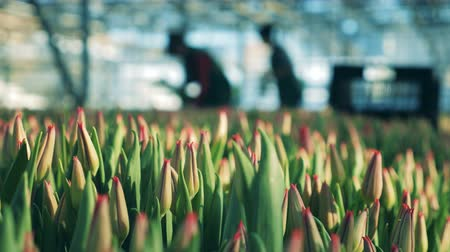 fertilizing : Silhouettes of workers in the warmhouse with tulips