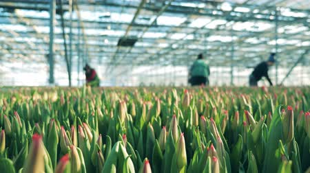 fertilizing : Tulips are growing in the hothouse, worker on a background