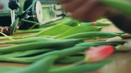 mechanically : Blooming tulips are getting put onto the conveyor belt. Flowers industry, flowers production.