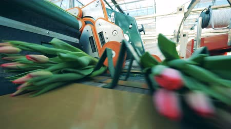 onto : Pink tulips are getting dropped onto the transporter. Automated machinery for flowers production. Stock Footage