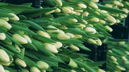 collected : Plenty of white tulips in plastic boxes Stock Footage