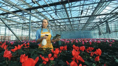 águas : Florist waters red cyclamen in pots, working in a glasshouse.