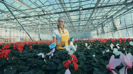 навес : A greenhouse worker watering flowers in pots, using a spray bottle. Стоковые видеозаписи
