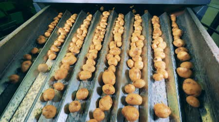 čištěný : Cleaned potatoes sorted on a moving conveyor at a factory.