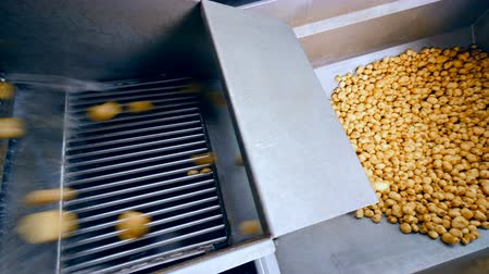 крахмал : Clean potatoes falling into a metal container from a conveyor at a factory.