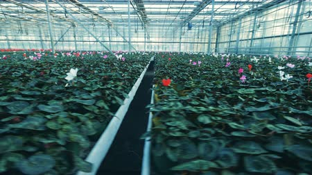горшках : Many pots with cyclamen flowers, growing in a greenhouse.