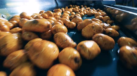 lavado : Fresh potatoes are moving along the transporter Stock Footage