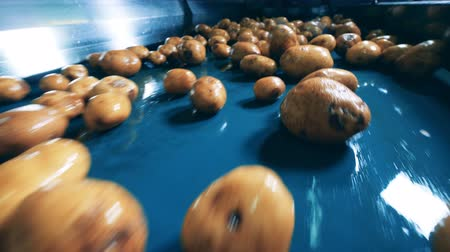 滋養物 : Close up of dug-out potatoes getting mechanically transported
