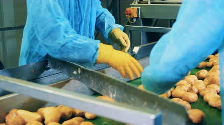 tayın : Raw potatoes are getting cut by factory employees Stok Video