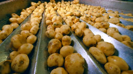 tisztított : Potatoes are moving along the belt and shaking