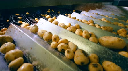 čištěný : Factory mechanism is processing potato tubers