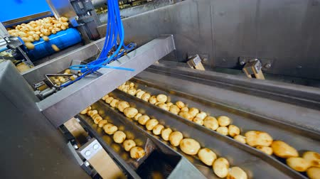 tisztított : Potatoes are falling into ducts of the conveyor Stock mozgókép