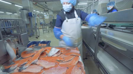 slashing : High-quality trout fillets are getting put onto the transporter. Fish factory.