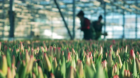 coletando : Greenhouse workers collect tulips from flower beds indoors. Stock Footage