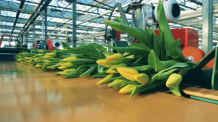 cachos : Bunches of yellow tulips moving on a line in a modern greehouse. Vídeos