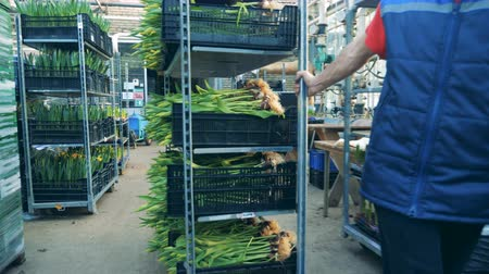 тянуть : A man pulls a rack with tulips bouquets in boxes.