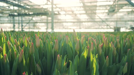 Buds of pink tulips in a sunlit greenhouse