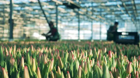 Workers in the hothouse with unblown tulips Stockvideo