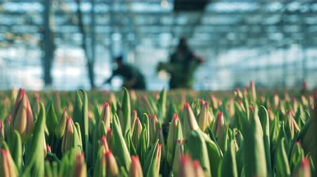 Tulips buds in the glasshouse with workers