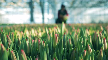 plantação : Unblown tulips with a woman collecting flowers in the greenery
