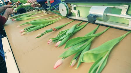collected : Mechanical processing of tulips lying on the conveyor