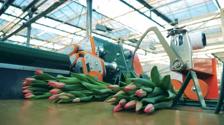 presleme : Batches of tulips are getting cut off mechanically Stok Video