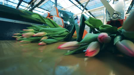Close up pink tulips while getting cut off by the machine