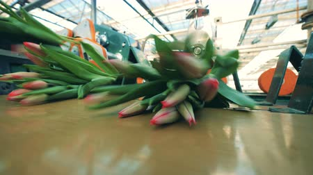 collected : Unblown pink tulips are getting processed by greenhouse equipment