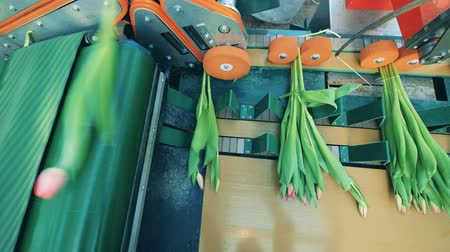 collected : Machine is parting tulips into bouquets and moving them