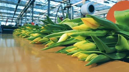 Bouquets of yellow tulips are moving along the transporter