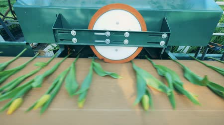 Tulips on the conveyor are getting pressed by the machine