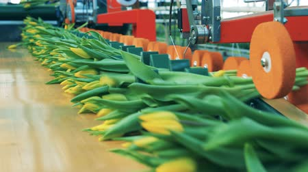 Tied up blooming tulips are getting relocated by the conveyor