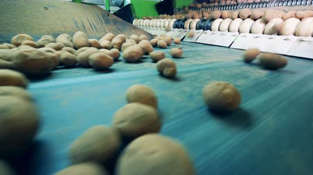 tayın : Fresh potatoes are moving along the transporter Stok Video