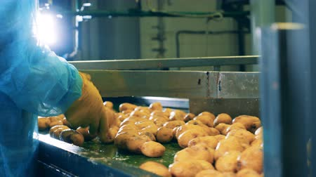 tayın : Conveyor belt with potatoes getting cut into halves Stok Video
