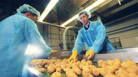 tayın : Male workers are slicing potato tubers