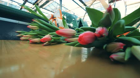 formado : Many bunches of pink tulips formed on a moving conveyor in a greenhouse.