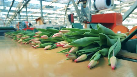 хрупкость : Pink tulips in bunches moving on a conveyor in a modern greenhouse.