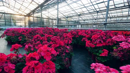 cultivation : Massive greenery with red and pink flowers