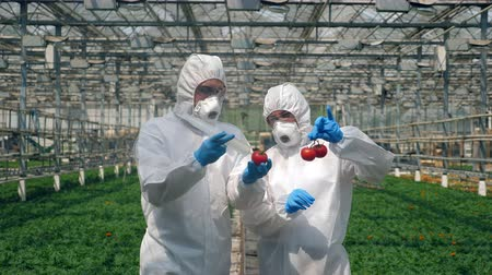 genetyka : Biologists inject red tomatoes with a syringe, working in a glasshouse.