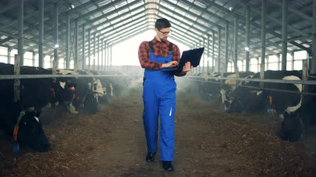 beef stock : Person walks in a cowshed, working with a laptop. Stock Footage