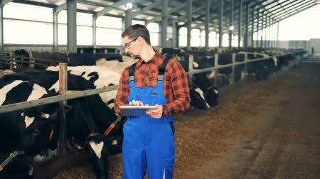 beef stock : A man works with a tablet in a cowshed, standing near a herd. Stock Footage