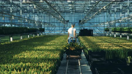 cachos : A gardener moves bunches of flowers, using a big cart in a greenhouse.