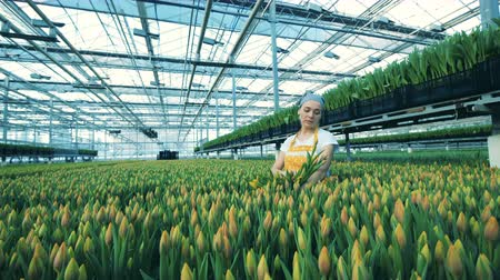 kertészeti : A florist picks yellow tulips from ground in a big greenhouse. Stock mozgókép