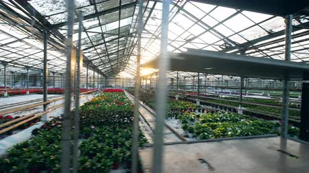 hydroponic : Vast flower plantations growing in the hothouse