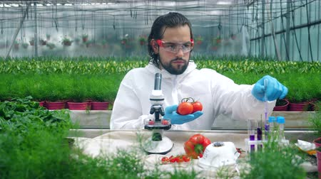 produtos químicos : Tomatoes are getting tested with chemicals by a male biologist