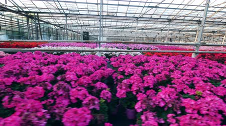 просторный : Greenhouse and bright flowers growing in pots