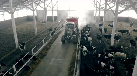 dairy cattle : Man on a tractor feeds cows in a barn, top view. Stock Footage