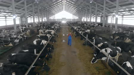 beef stock : One person checks cows in a special barn, back view.
