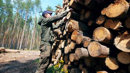 cutting open : Male worker is measuring felled timber