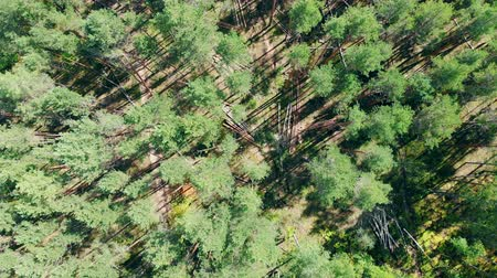 cutting open : Growing and harvested pines in a view from above